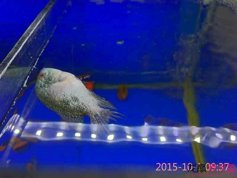 小马骝出轨了被咬的遍体鳞伤 北京观赏鱼 北京龙鱼第2张