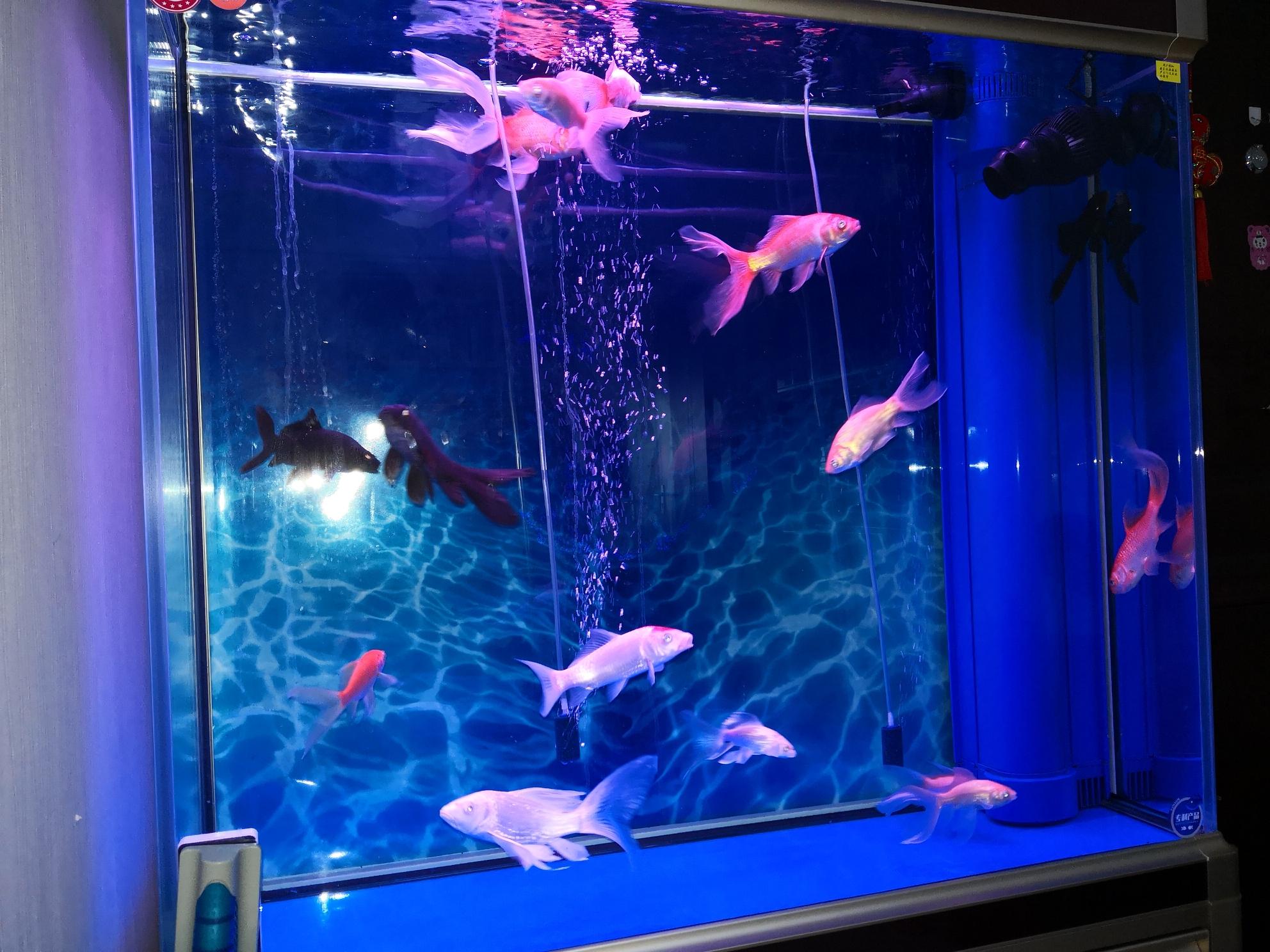 起床看鱼了金鱼 北京观赏鱼 北京龙鱼第1张