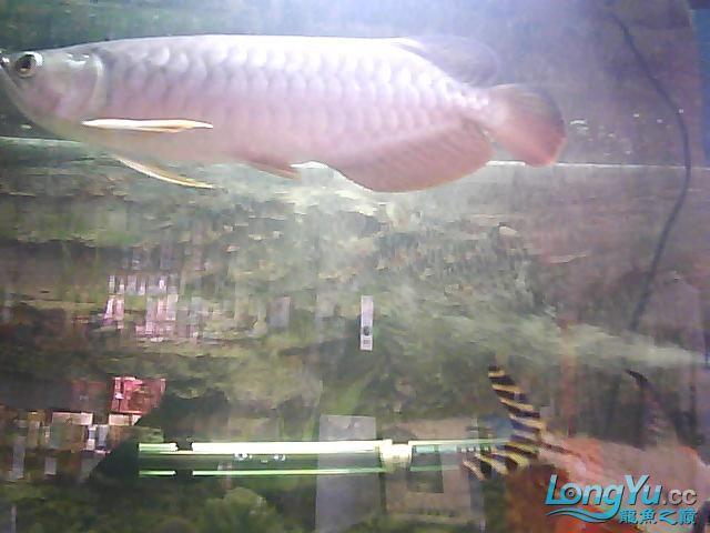到家两个月的小高背 北京观赏鱼 北京龙鱼第1张