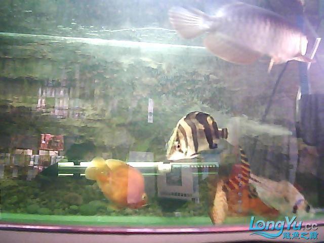 到家两个月的小高背 北京观赏鱼 北京龙鱼第3张