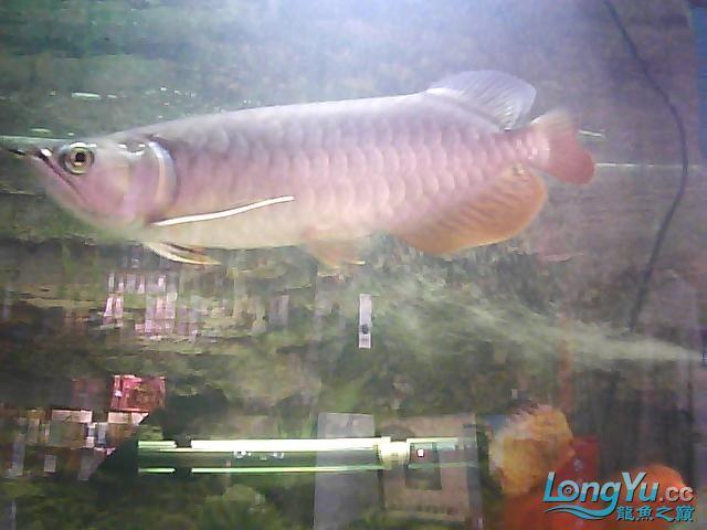 到家两个月的小高背 北京观赏鱼 北京龙鱼第2张