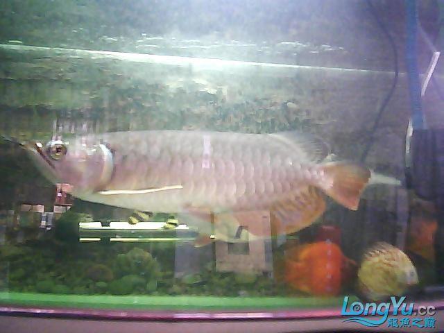 到家两个月的小高背 北京观赏鱼 北京龙鱼第4张