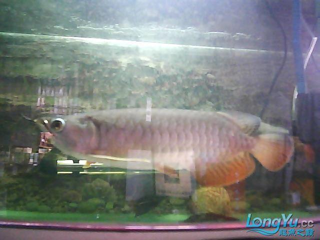 到家两个月的小高背 北京观赏鱼 北京龙鱼第6张