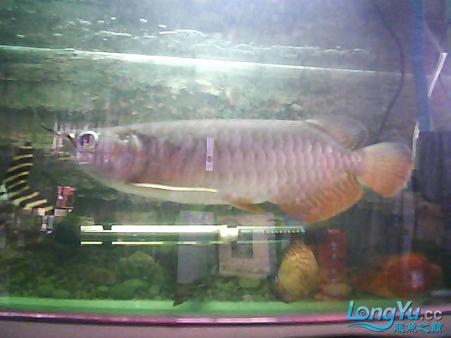 到家两个月的小高背 北京观赏鱼 北京龙鱼第5张