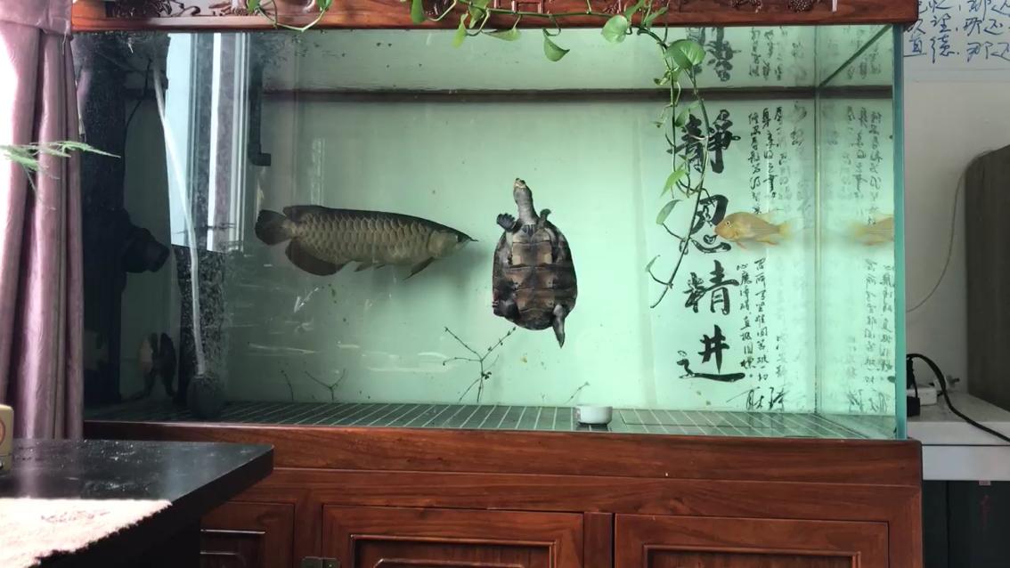 长大了点龙鱼 北京观赏鱼