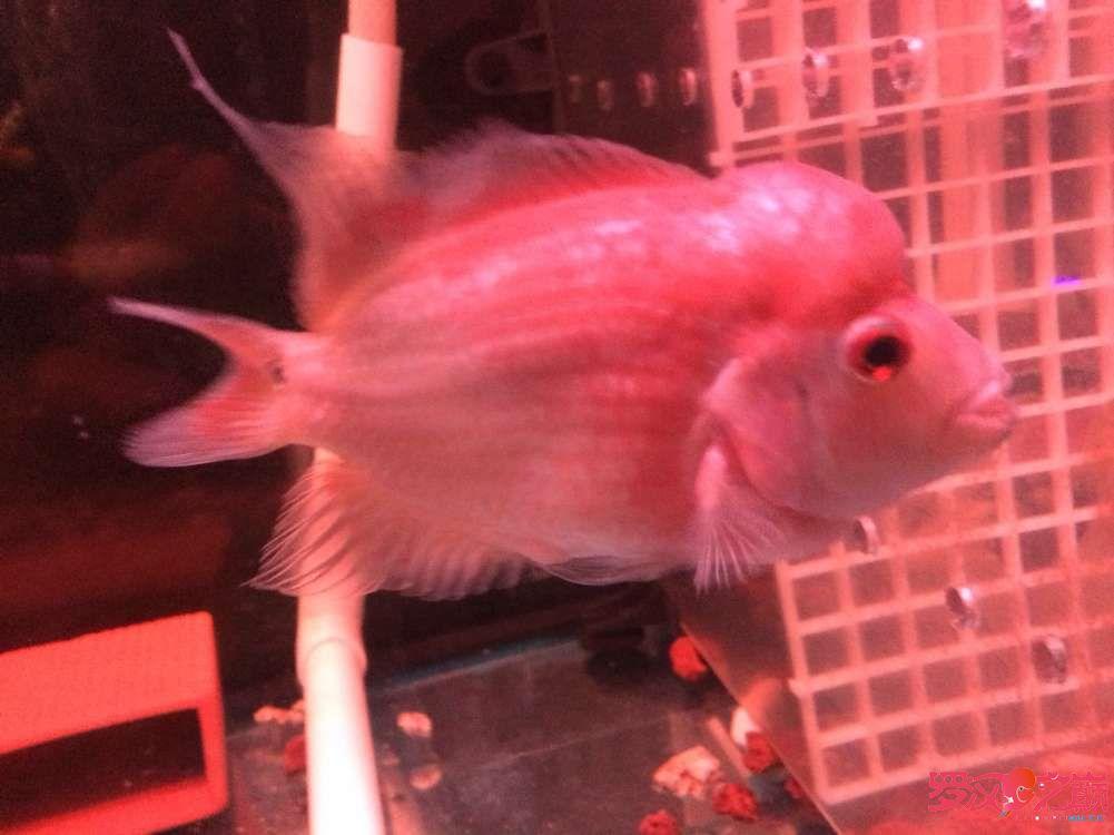 又要更新叔北京有转让泰国虎鱼叔 北京观赏鱼 北京龙鱼第2张