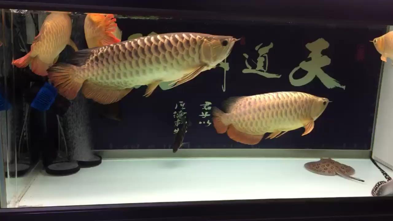 纪念已失去的龙 北京观赏鱼