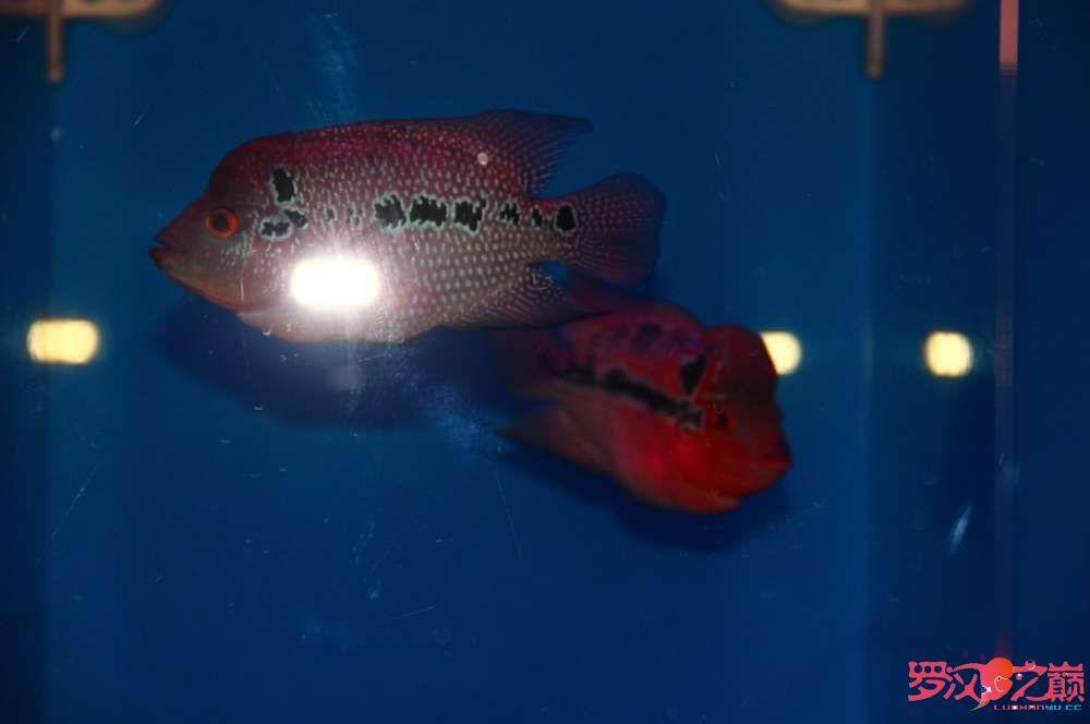 贺周年赢幻彩 罗巅两周年快乐绿茶在观赏鱼中的作用 北京观赏鱼 北京龙鱼第2张
