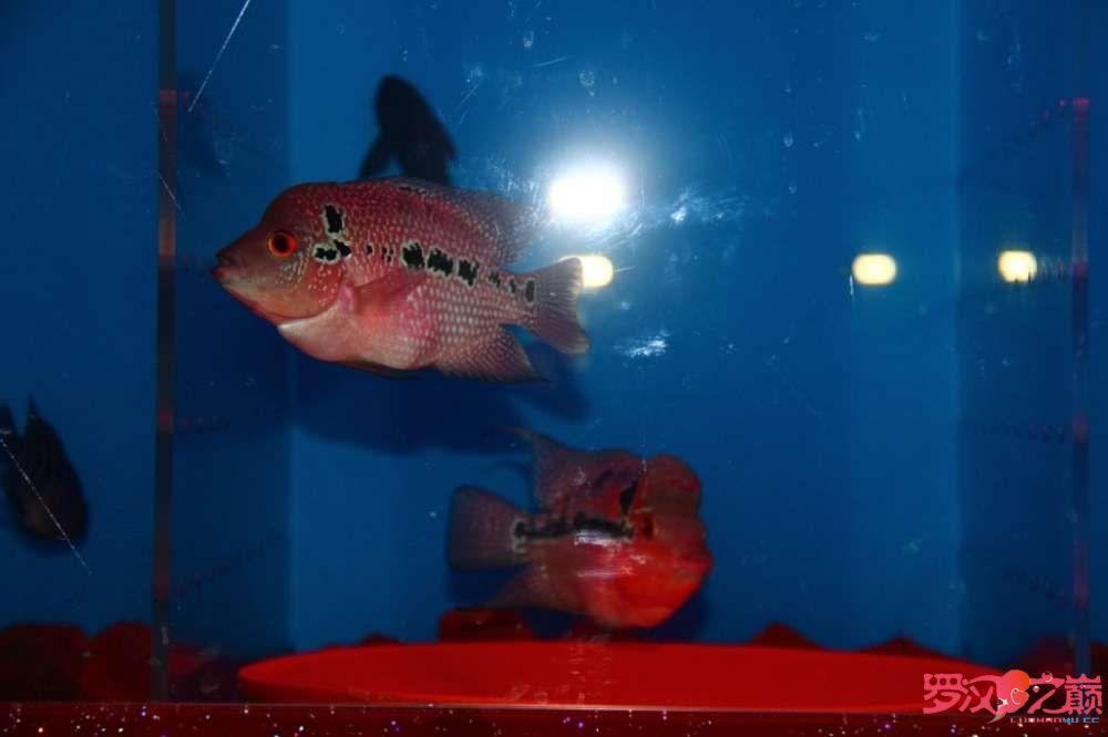 贺周年赢幻彩 罗巅两周年快乐绿茶在观赏鱼中的作用 北京观赏鱼 北京龙鱼第3张
