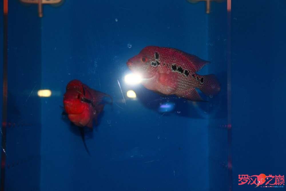 贺周年赢幻彩 罗巅两周年快乐绿茶在观赏鱼中的作用 北京观赏鱼 北京龙鱼第4张