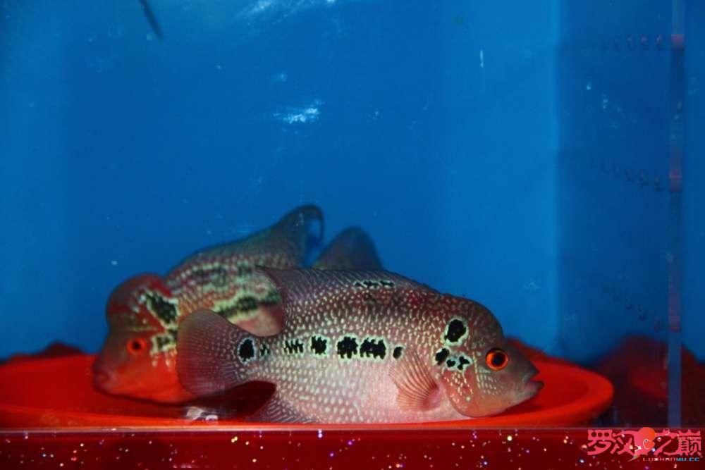 贺周年赢幻彩 罗巅两周年快乐绿茶在观赏鱼中的作用 北京观赏鱼 北京龙鱼第5张