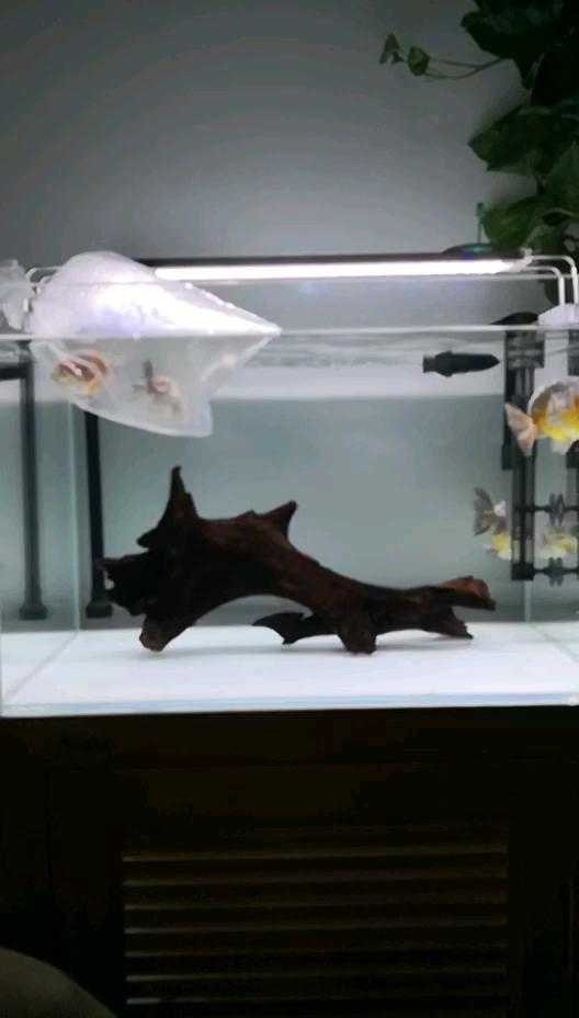 沉木入缸金鱼 北京观赏鱼