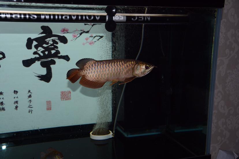 金龙反垢了?龙鱼 北京观赏鱼 北京龙鱼第1张