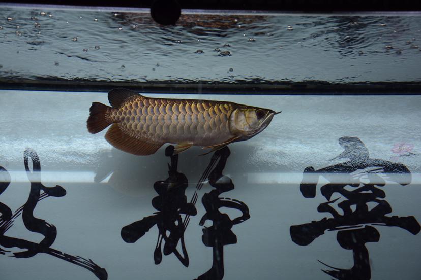 金龙反垢了?龙鱼 北京观赏鱼 北京龙鱼第2张