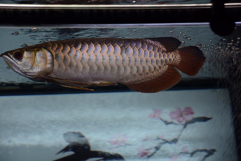 金龙反垢了?龙鱼 北京观赏鱼 北京龙鱼第3张