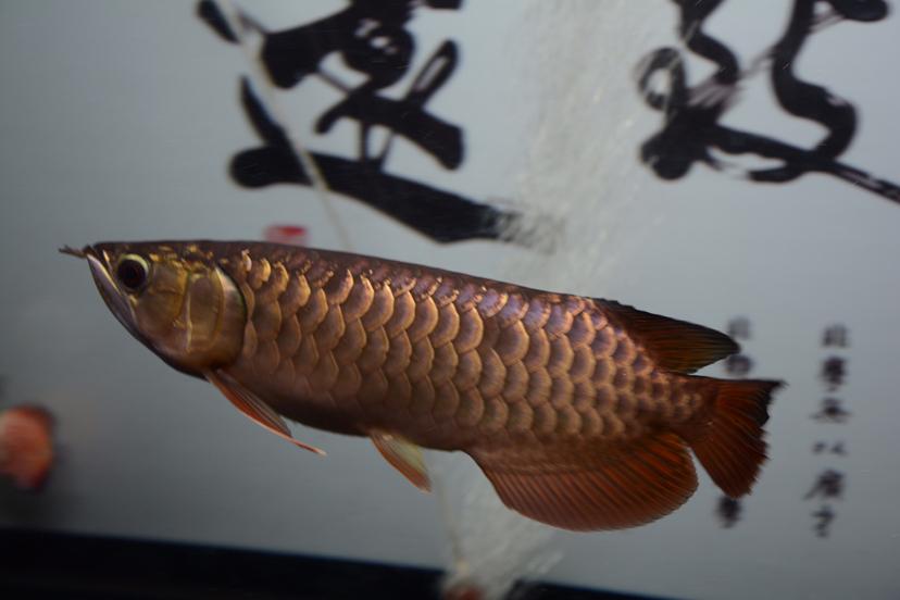 金龙反垢了?龙鱼 北京观赏鱼 北京龙鱼第5张