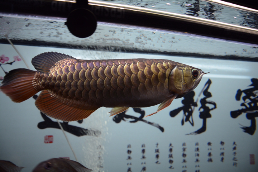 金龙反垢了?龙鱼 北京观赏鱼 北京龙鱼第4张