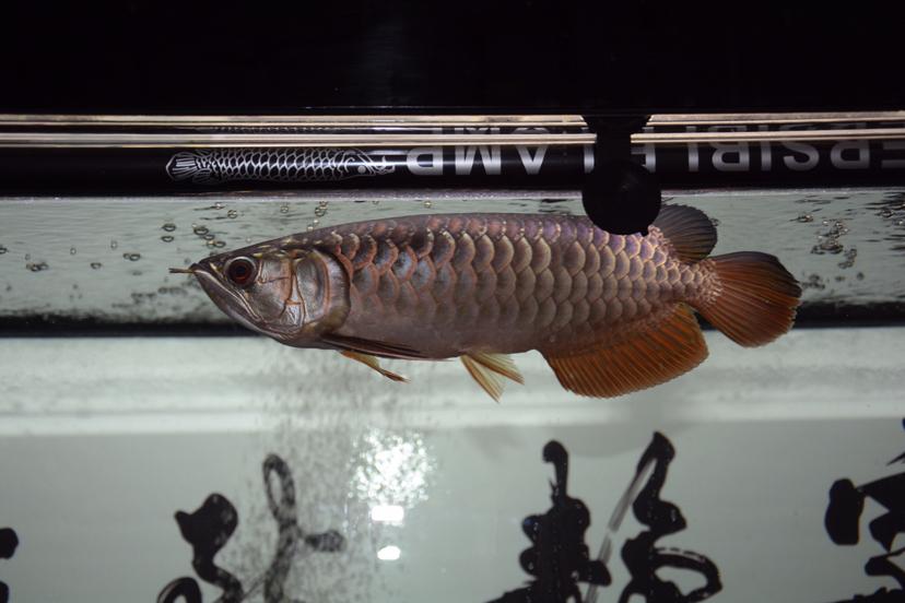 金龙反垢了?龙鱼 北京观赏鱼 北京龙鱼第7张