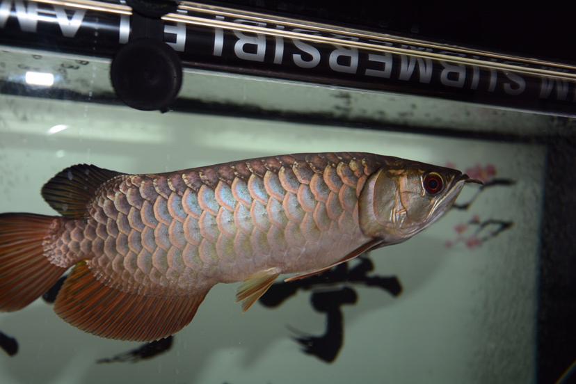 金龙反垢了?龙鱼 北京观赏鱼 北京龙鱼第8张