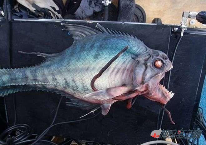 血腥慎入食人鱼水虎真的屌爆了变态的人类 北京观赏鱼 北京龙鱼第1张