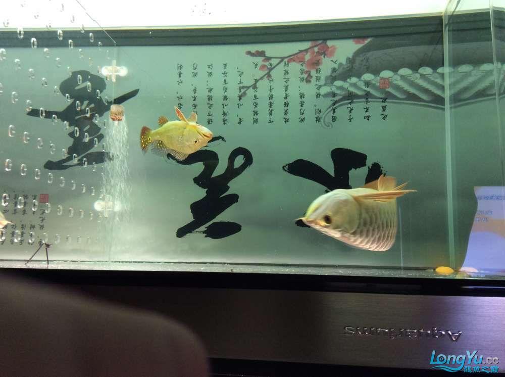 晒晒我的小金头 北京观赏鱼 北京龙鱼第1张