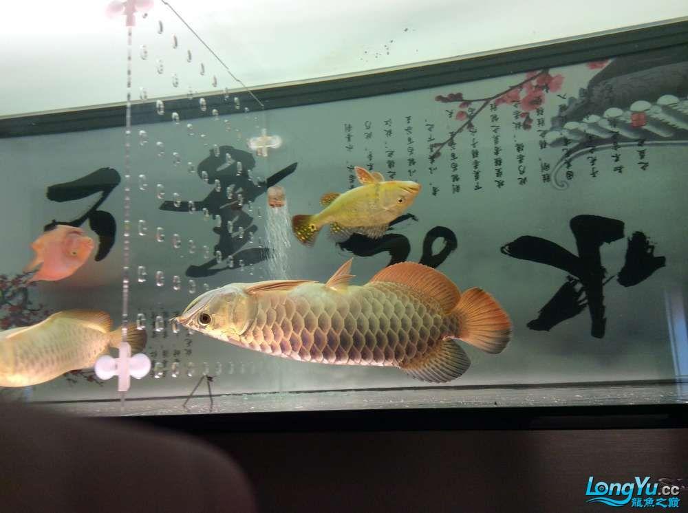 晒晒我的小金头 北京观赏鱼 北京龙鱼第3张