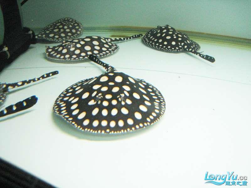 发发自己养的一些小皇冠仅供鉴赏 北京龙鱼论坛 北京龙鱼第3张