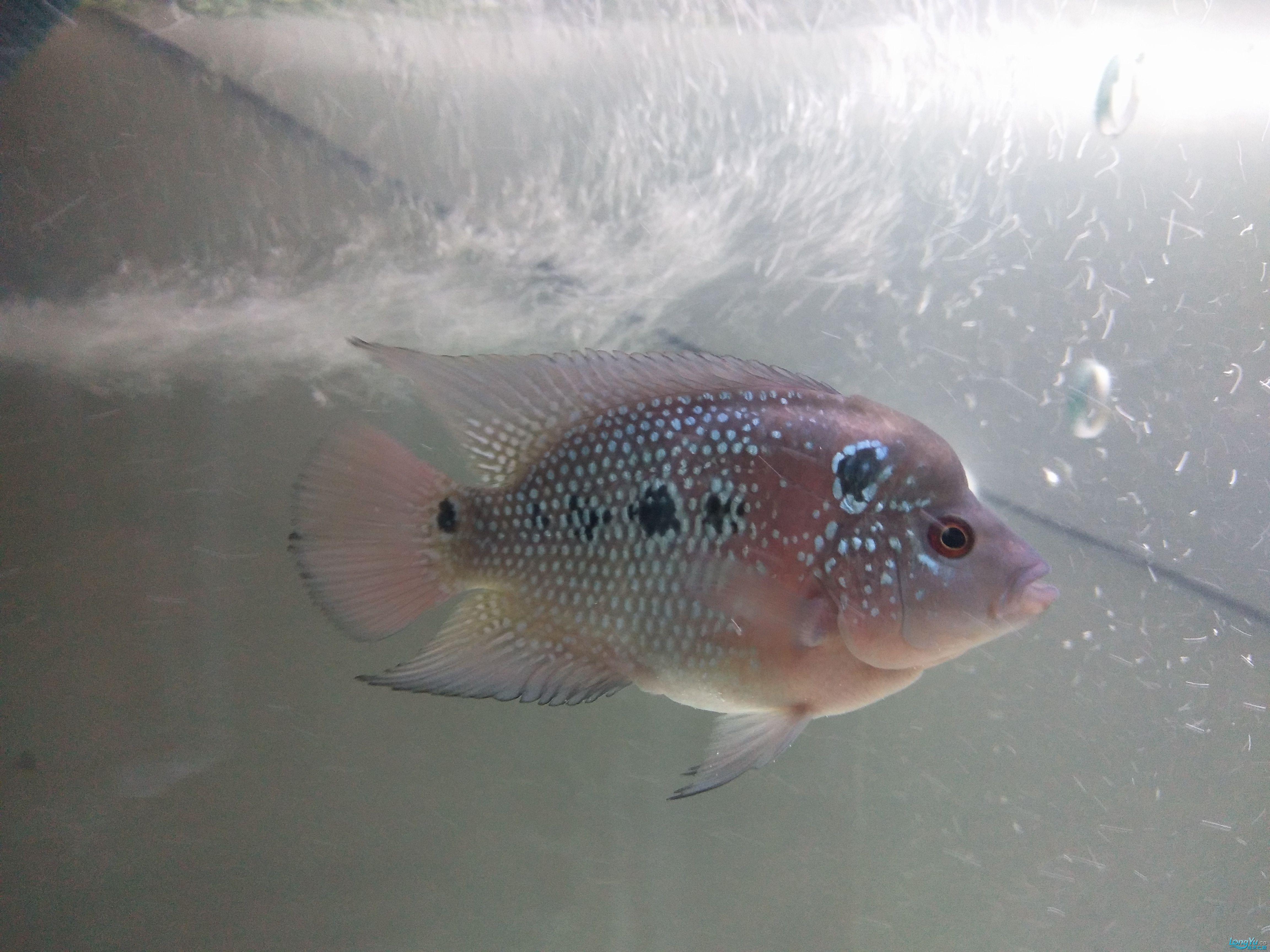 两条50天的罗汉这是什么品种有价值吗?? 北京观赏鱼 北京龙鱼第2张