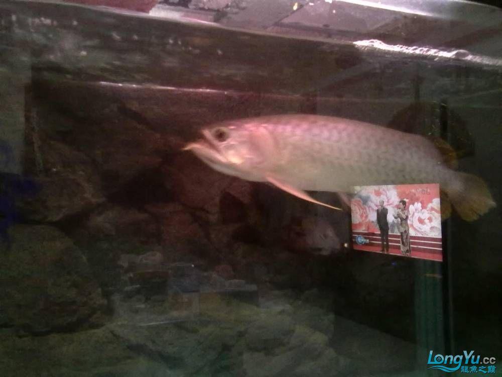 号半也不错自己喜欢 北京龙鱼论坛 北京龙鱼第6张