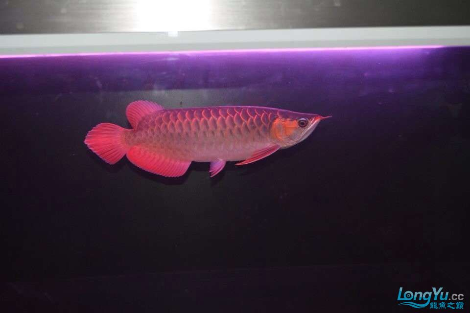到家2个月的红龙30CM大家看看怎样 北京龙鱼论坛 北京龙鱼第3张