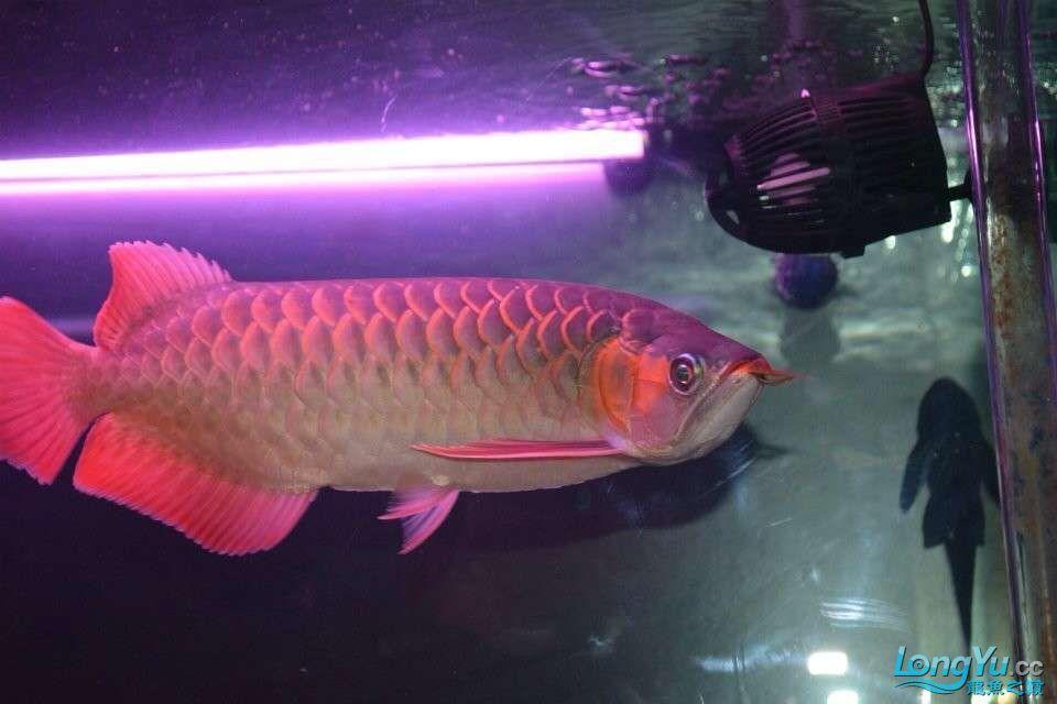 到家2个月的红龙30CM大家看看怎样 北京龙鱼论坛 北京龙鱼第2张