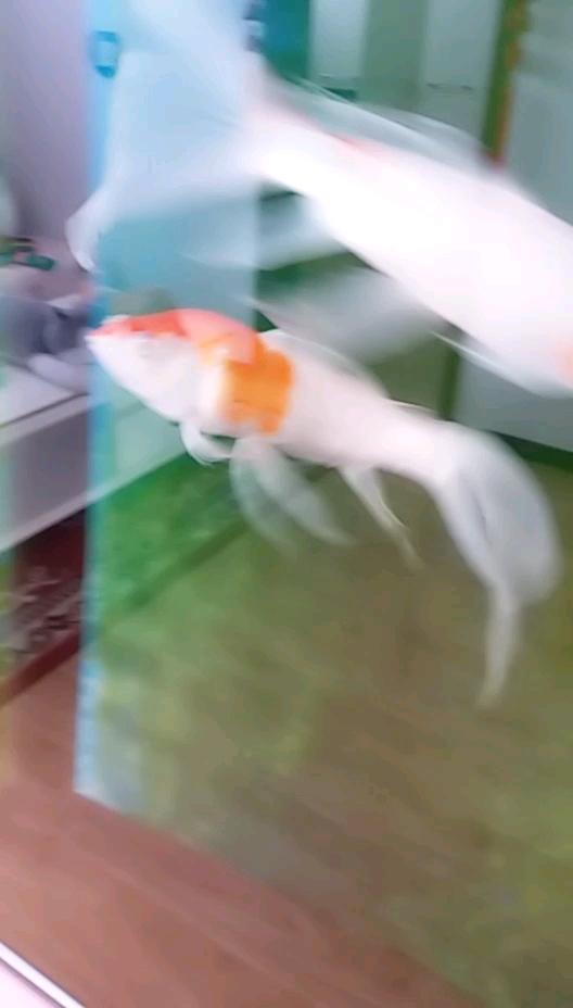 锦鲤立鳞头部鼓起什么情况?咋治? 北京观赏鱼