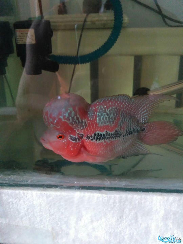 到北京哪儿卖热带鱼家两个半月买时25厘米40块 北京观赏鱼 北京龙鱼第1张