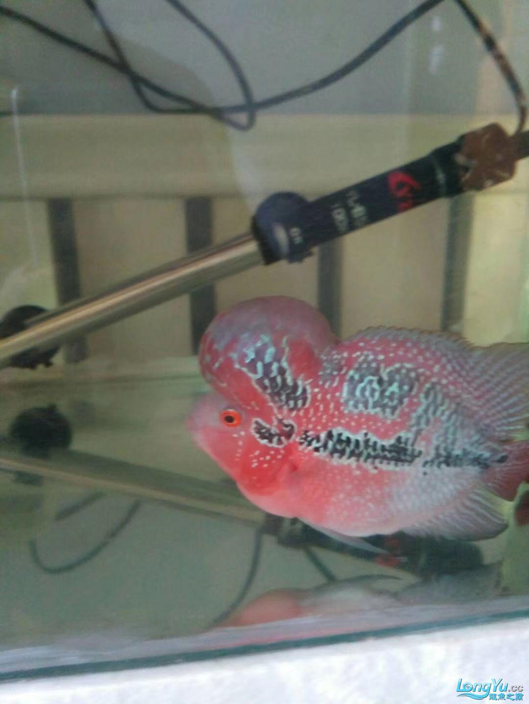到北京哪儿卖热带鱼家两个半月买时25厘米40块 北京观赏鱼 北京龙鱼第2张