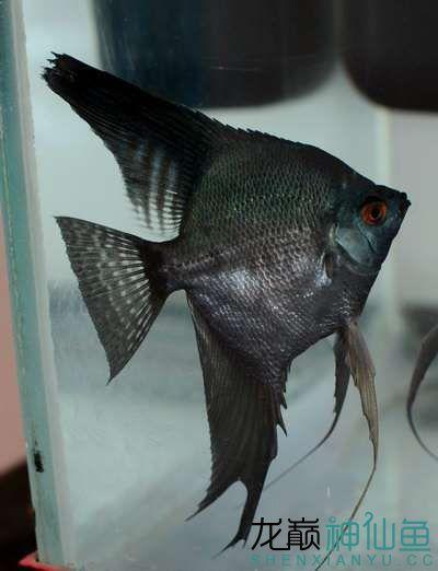 这个是神马燕 北京观赏鱼 北京龙鱼第1张