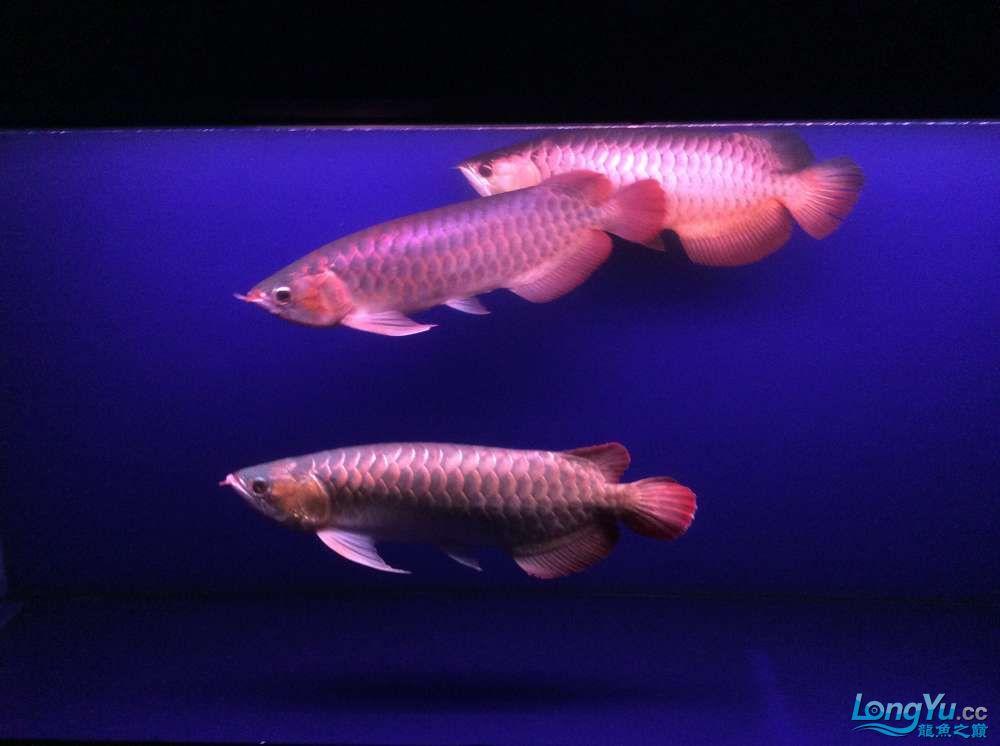 三龙混养更新1 北京观赏鱼 北京龙鱼第3张