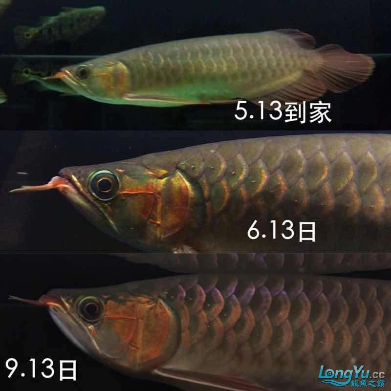 红龙到家4个月还是有点变化 北京龙鱼论坛