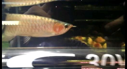 鳞底很干净河北鱼友圈 北京观赏鱼