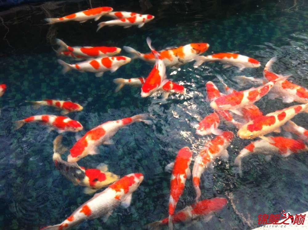 参观锦鲤养殖厂纪念 北京观赏鱼 北京龙鱼第5张