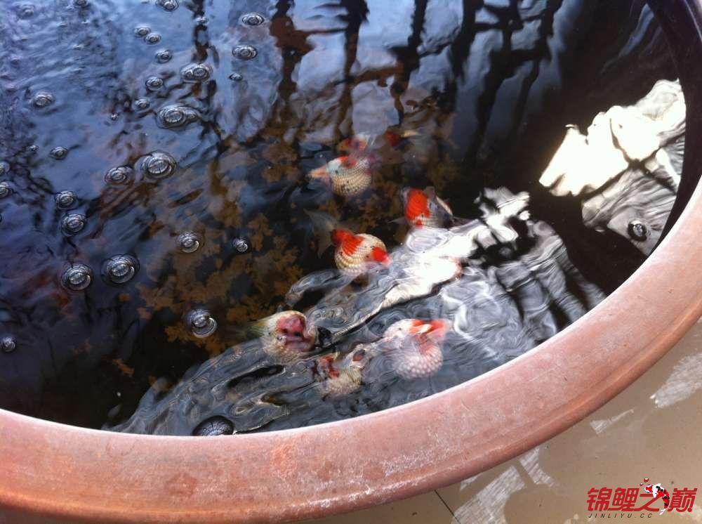参观锦鲤养殖厂纪念 北京观赏鱼 北京龙鱼第6张