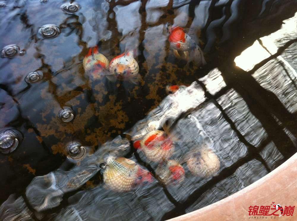 参观锦鲤养殖厂纪念 北京观赏鱼 北京龙鱼第7张