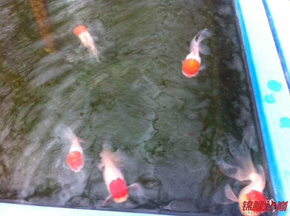 参观锦鲤养殖厂纪念 北京观赏鱼 北京龙鱼第10张