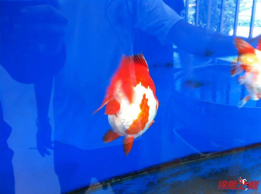 参观锦鲤养殖厂纪念 北京观赏鱼 北京龙鱼第14张