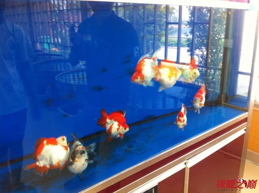 参观锦鲤养殖厂纪念 北京观赏鱼 北京龙鱼第16张