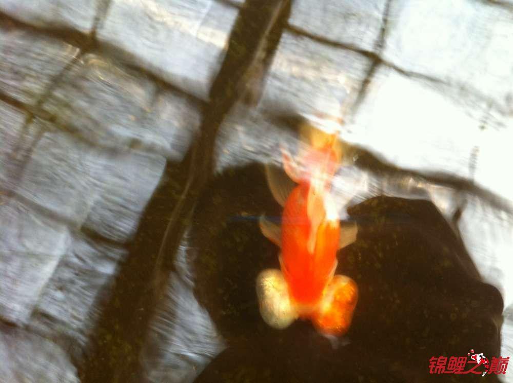 参观锦鲤养殖厂纪念 北京观赏鱼 北京龙鱼第24张