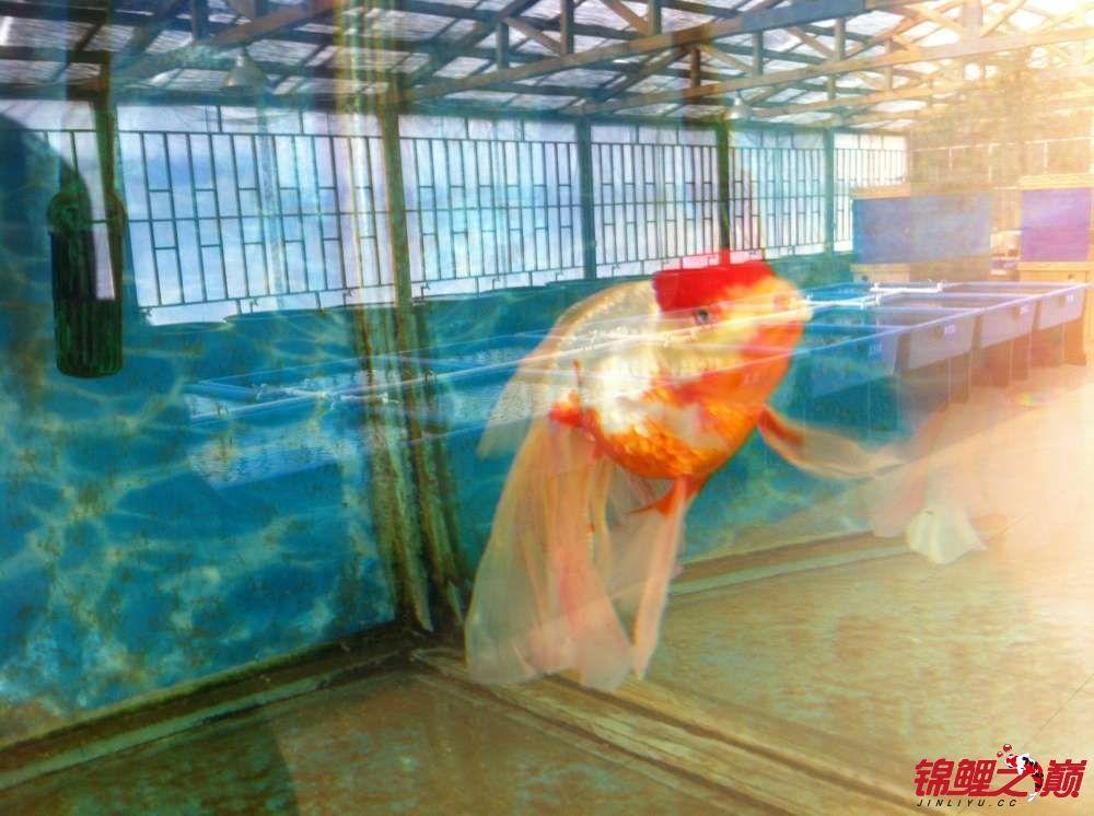 参观锦鲤养殖厂纪念 北京观赏鱼 北京龙鱼第25张