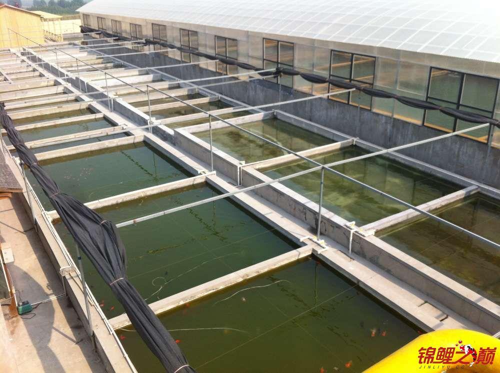 参观锦鲤养殖厂纪念 北京观赏鱼 北京龙鱼第27张
