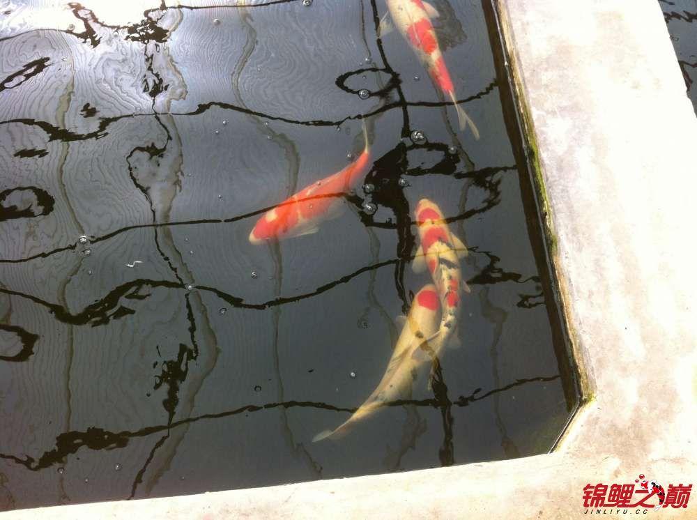 参观锦鲤养殖厂纪念 北京观赏鱼 北京龙鱼第32张