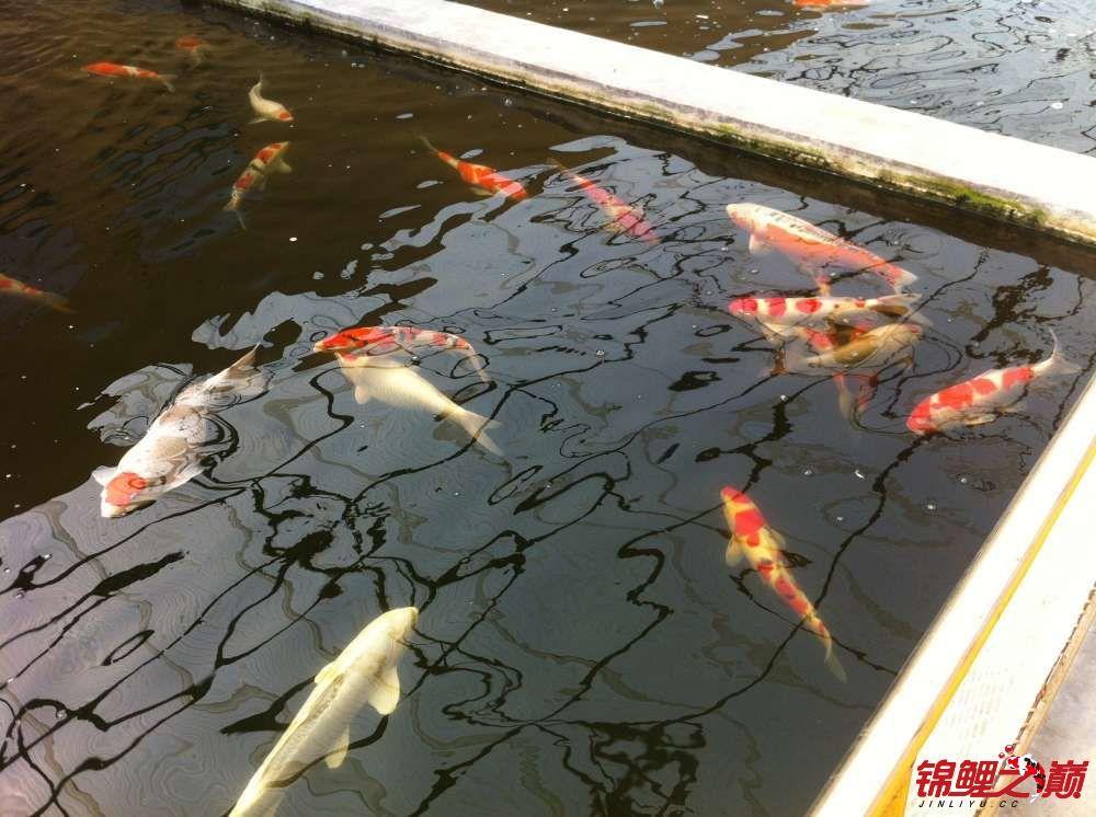参观锦鲤养殖厂纪念 北京观赏鱼 北京龙鱼第38张