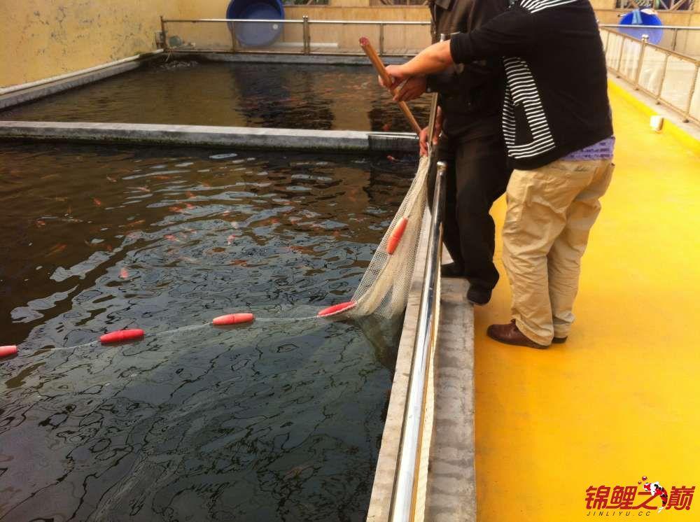 参观锦鲤养殖厂纪念 北京观赏鱼 北京龙鱼第40张
